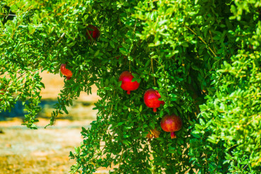 Pomegranate Tree and Fruits