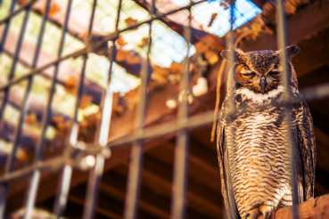 Poor Owl in Captivity
