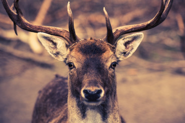 Portrait of the Deer