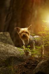 Puppy Australian Silky Terrier