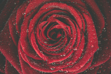 Red Rose Dew Background