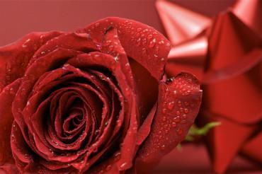 Rose & Bow