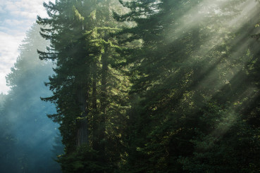 Scenic Morning Sunlight In the Redwood Forest