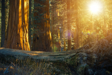 Scenic Sequoia Forest