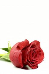 Separated Rose