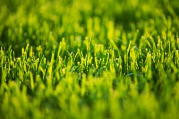 Short Cut Lawn Grass Close Up