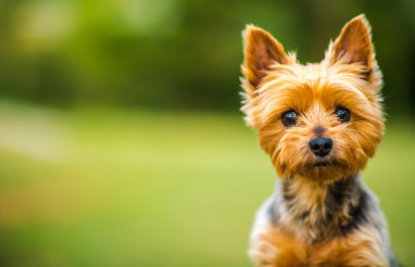 Silky Terrier Portrait