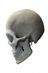 Skull with Jaw Side View