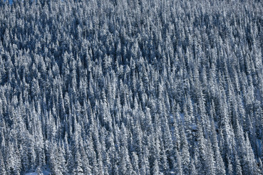 Spruce-Fir Forest Background