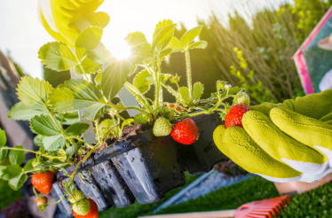 Strawberry Summer Cultivation