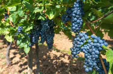 Summer Time Vineyard Grapes