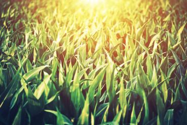 Sunny Corn Field