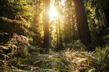 Sunny Dense Redwood Forest in Northern California