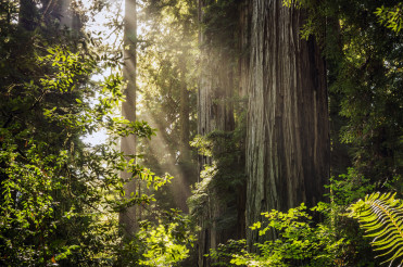 Sunny Redwood Forest Scenery