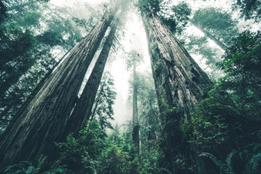 The Giant Forest of Mystery