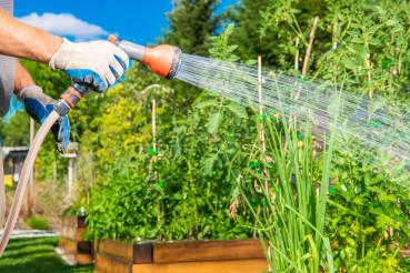 Watering Fresh Veggies In Residential Garden.