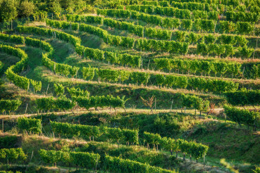Vineyard Fields in Summer