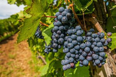 Vineyard Grapes Harvesting
