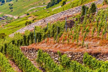 Vineyard Hills of Switzerland