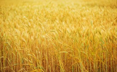 Wheat Field Farmland