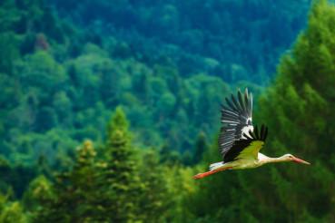 White Stork in Flight