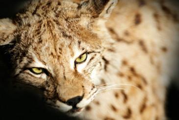 Wild Lynx Taxidermy