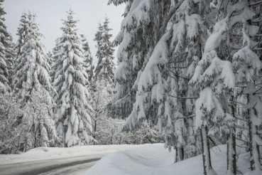 Winter Spruce Forest Road