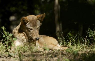 Wolf in the Sun