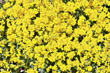 Yellow Flowering Background