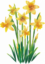 Yellow Jonquils PNG