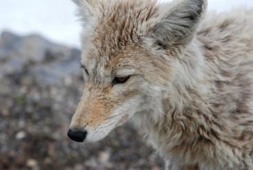 Yellowstone Fox