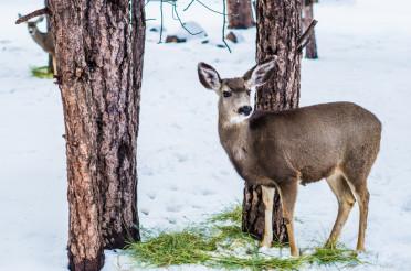 Young Mule Deer in Winter