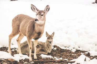 Young Mule Deers
