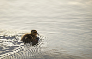 Young Shaggy Duck