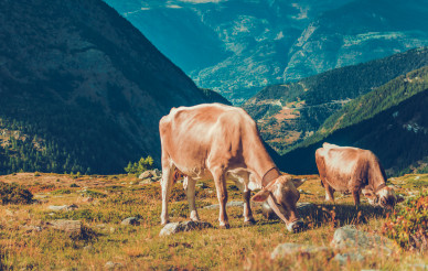 Cows Eating Grass Near Mountain Range.