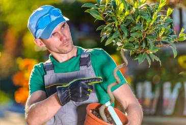 Garden Center Worker Holding Small Tree In Pot.