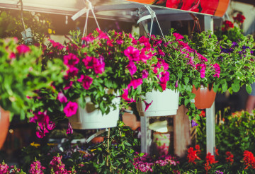 Rows Of Hanging Flower Planters In Greenhouse.