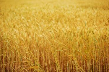 Field Of Wheat Growing On Farm.