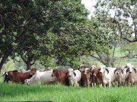 Cenatte Embryos herd