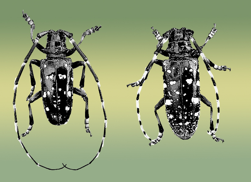 indiana residents urged to check trees for asian longhorned beetle