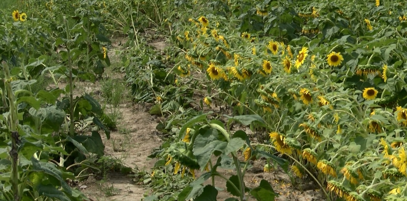 Photo of Teen Stirs Up Negative Attention For Driving Through Sunflower Field