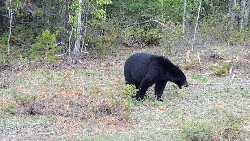 bear jasper