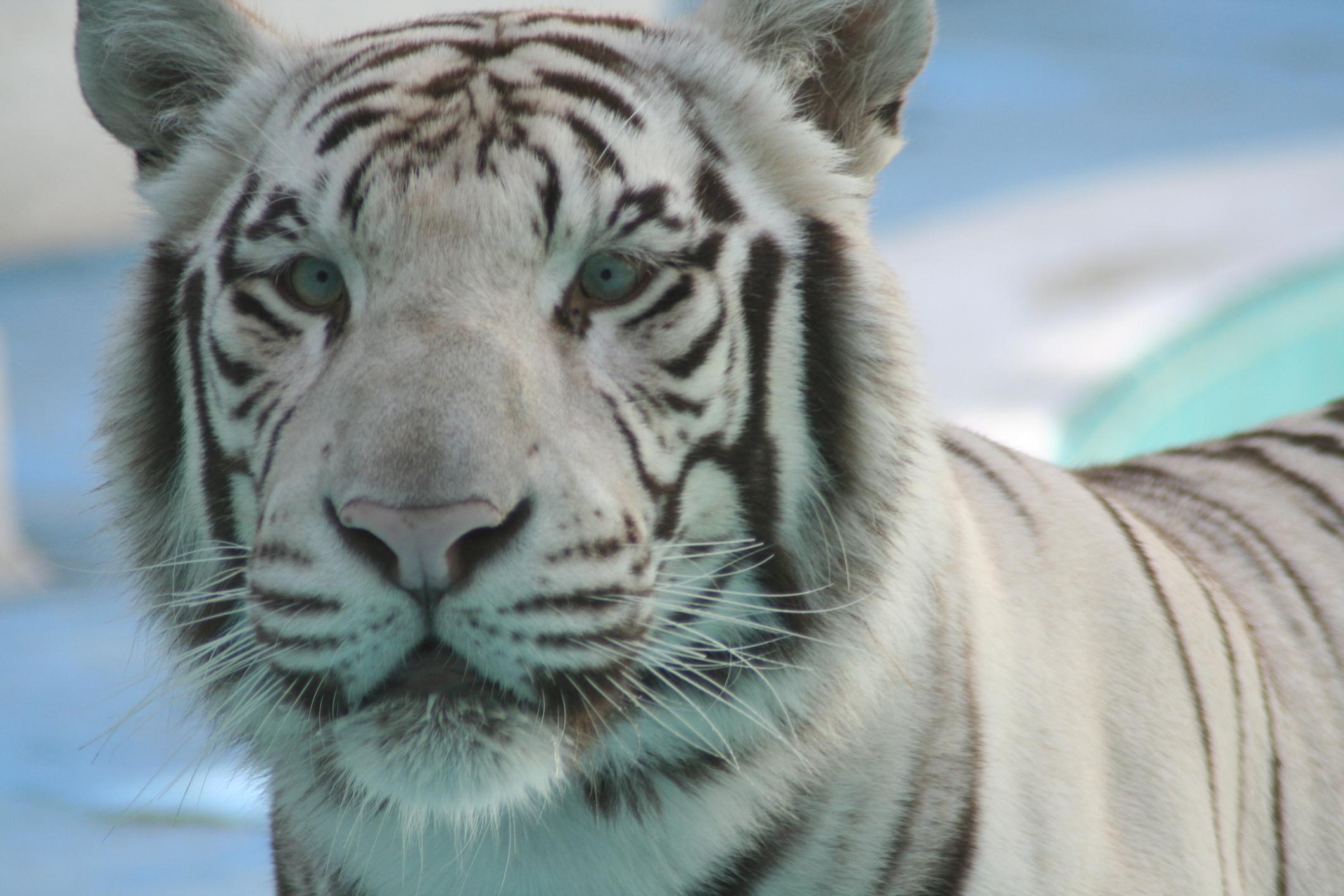 Large_tiger