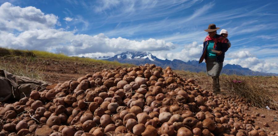 Potato_harvest