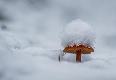 Snowcap Mushroom