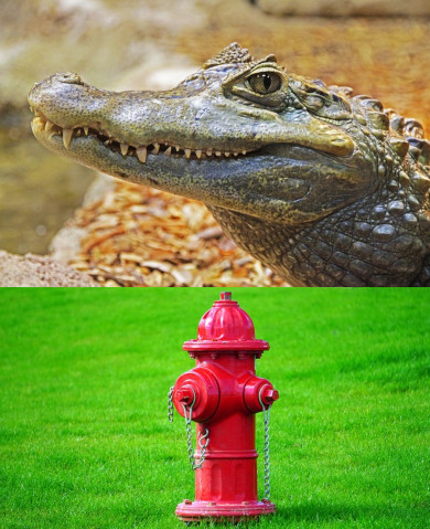 Alligator Tied to a Fire Hydrant