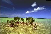 A small group of mangrove trees make their home in the tropical waters off the coast of Florida.