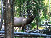 Large bull elk near our campsite at Grant Village.