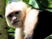A capuchin monkey is a new world species commonly found in Costa Rica