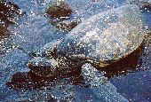 Sea Turtle on shore of Hawaii's Big Island.